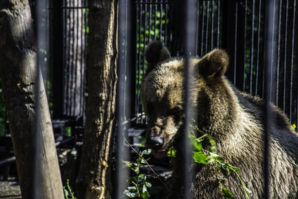 бурый медведь в Новосибирском зоопарке