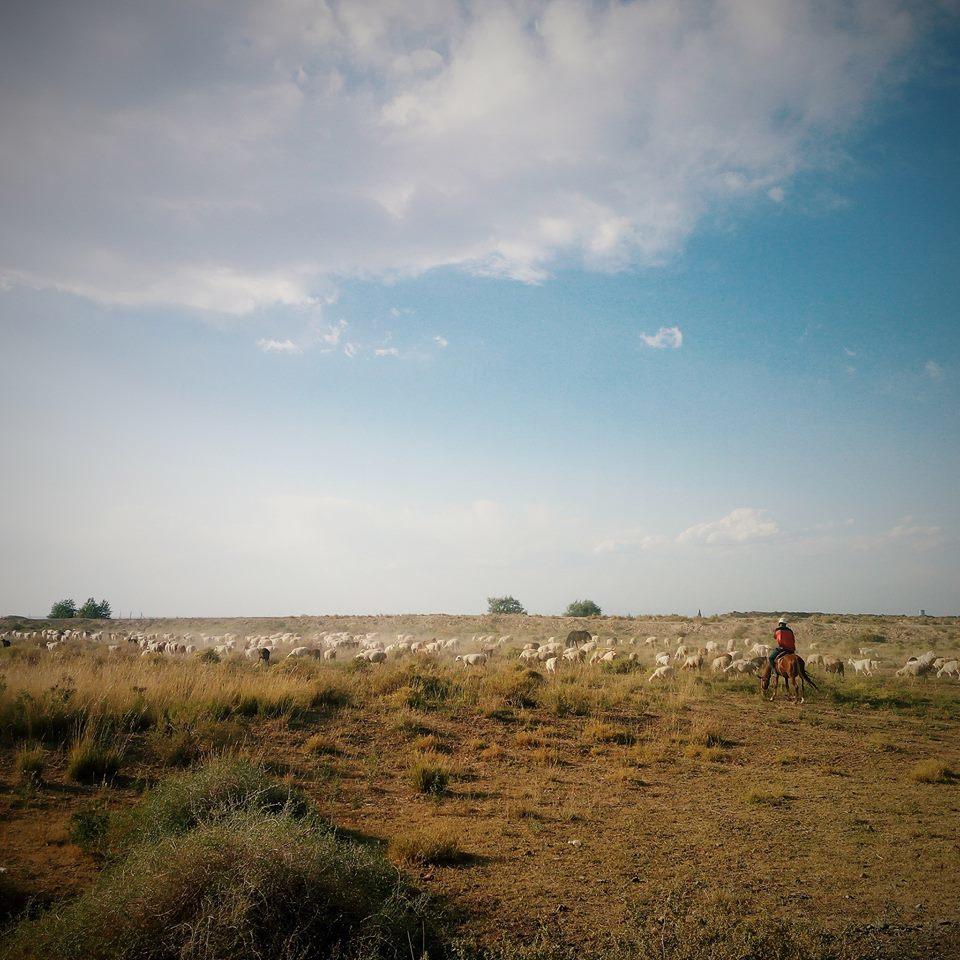 стадо баранов и чабан в Казахстане