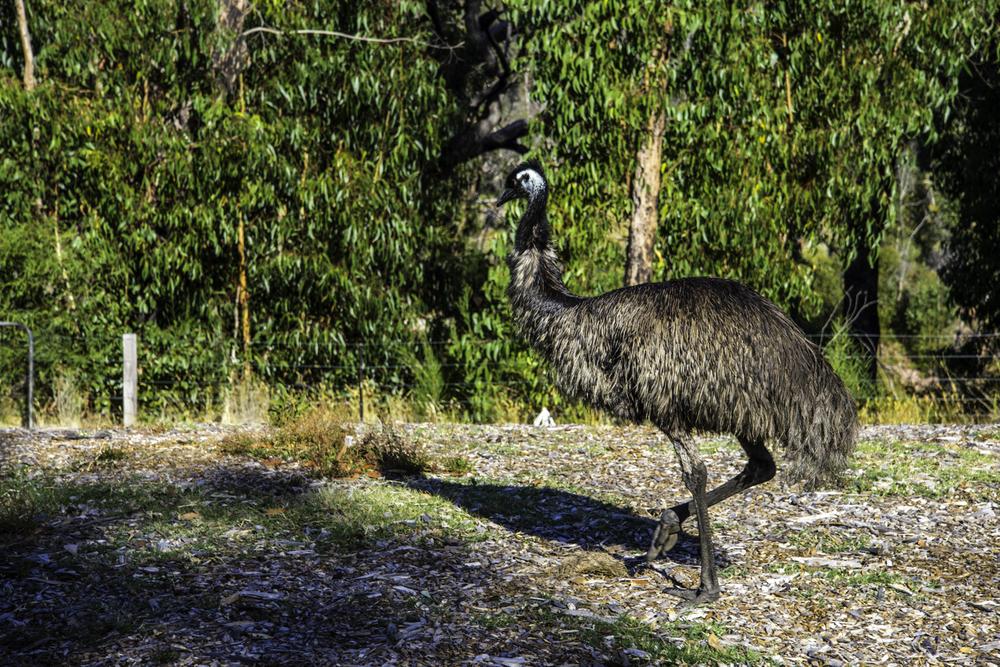 """национальный парк """"Грампианс"""", австралийский эму"""