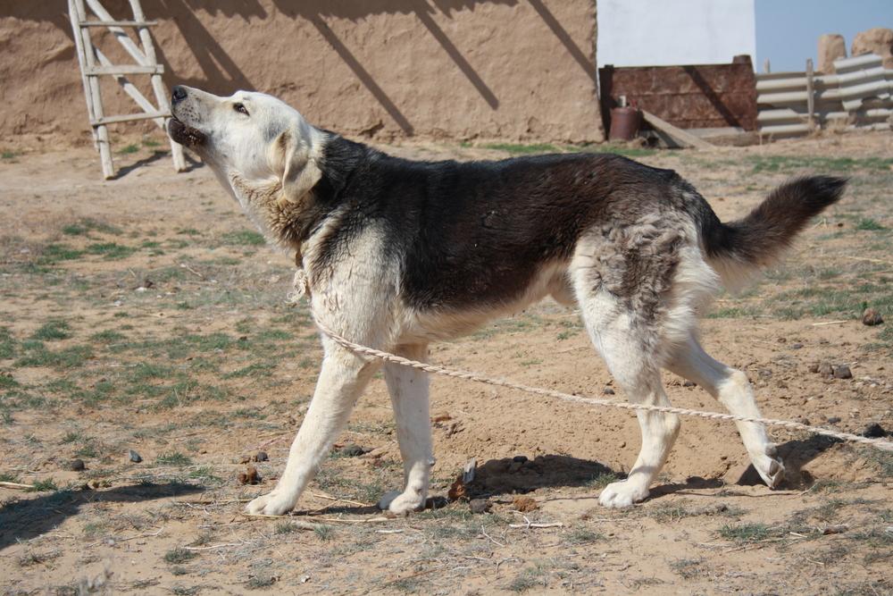 казахский волкодав фото людей