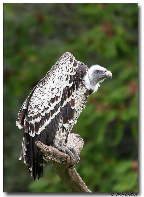 ruppels vulture