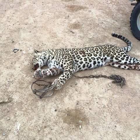 гепард в казахстане