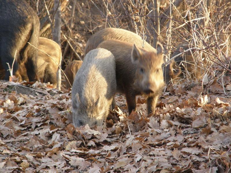 картинки свинья ест желуди фото