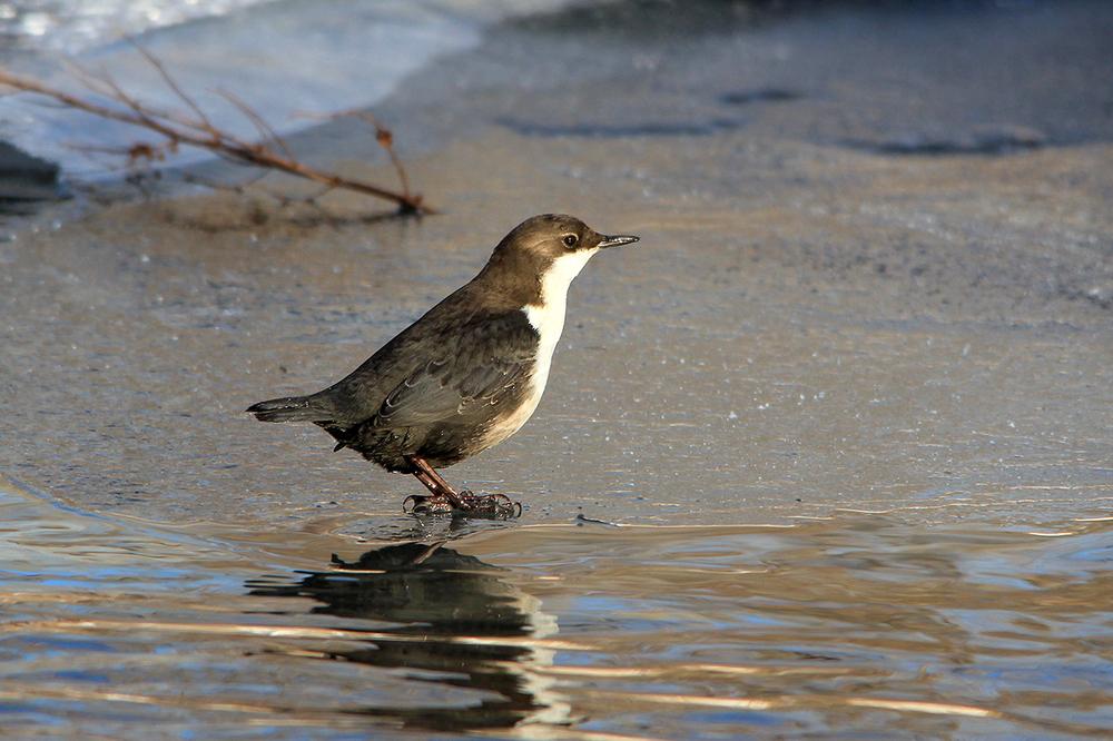 Птицы новгородской области фото и названия